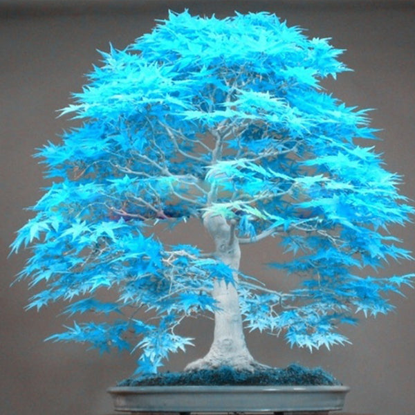 20pcs/2 bag Bonsai Blue Maple Tree Seeds Bonsai Tree Seeds Balcony Plants for Home Garden