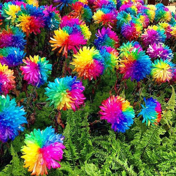 20Pcs Rainbow Chrysanthemum Flower Seeds Magic Garden Rare Color Home Yard Bonsai Plant