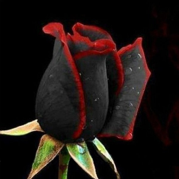 100Pcs Black Rose Seeds Flower with Red Edge Rare Rose Garden Bonsai Seeds
