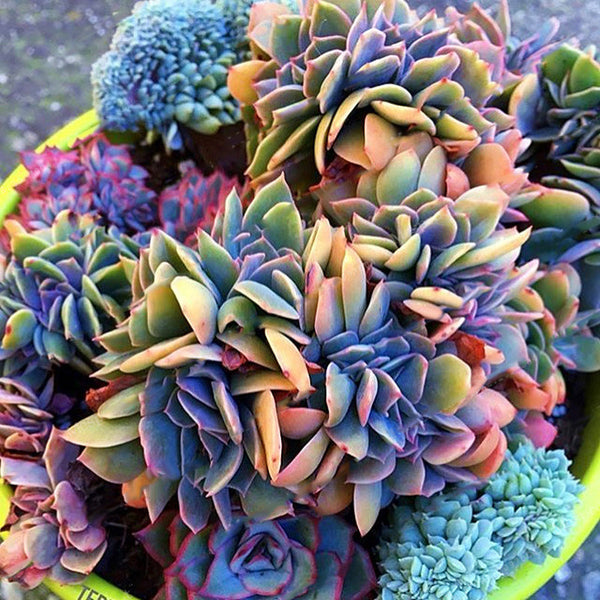 200PCS Echeverione Succulent Seeds Mixed Color Garden Potted Flower Seed Home Decor Bonsai