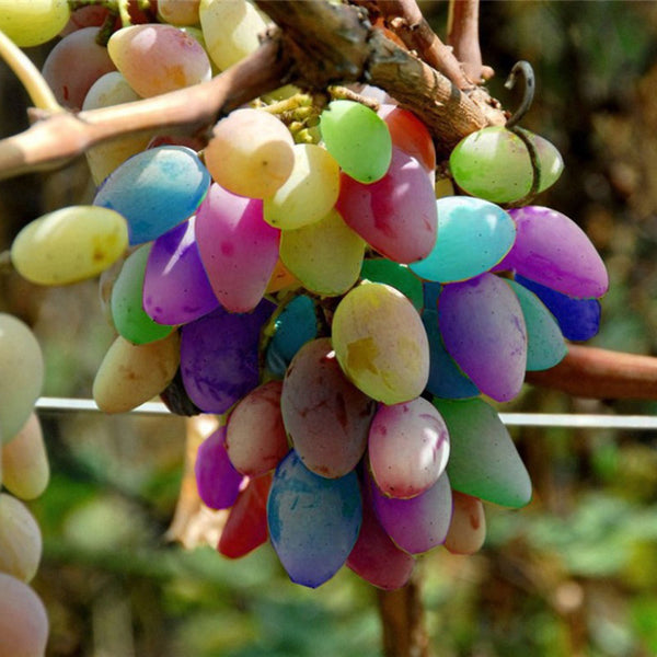 50Pcs/Pack Grape Seeds Rainbow Colorful Garden Fruit Plants Sweet Kyoho Grape Seeds