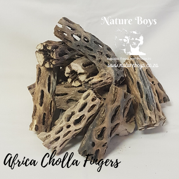 Nature Boys African Cholla Fingers
