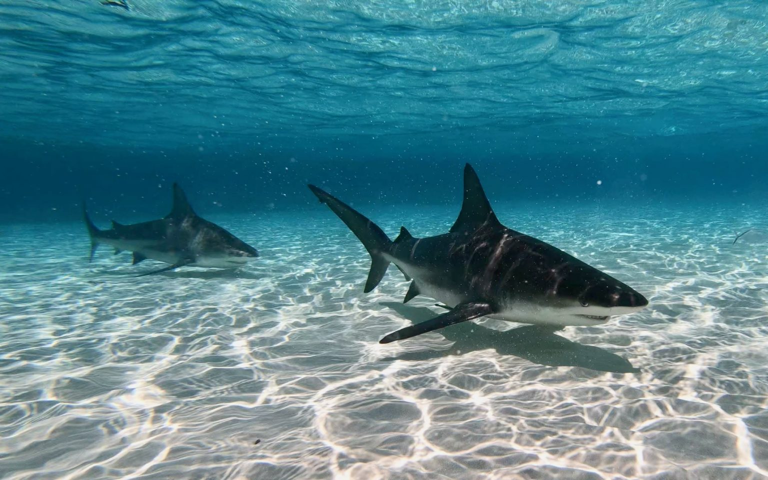 Sharks at the Sandbar