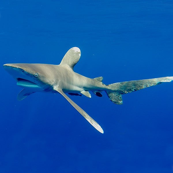 OCEANIC WHITETIP SHARKS ARE THREATENED