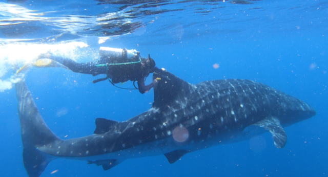 Social Distancing May Be New for Humans...Not So Much For Whale Sharks