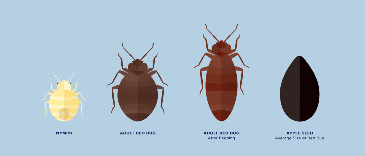 How To Know If You Have Bed Bugs Bedpillows Com