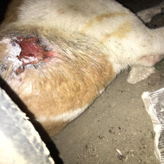stray animal wounded