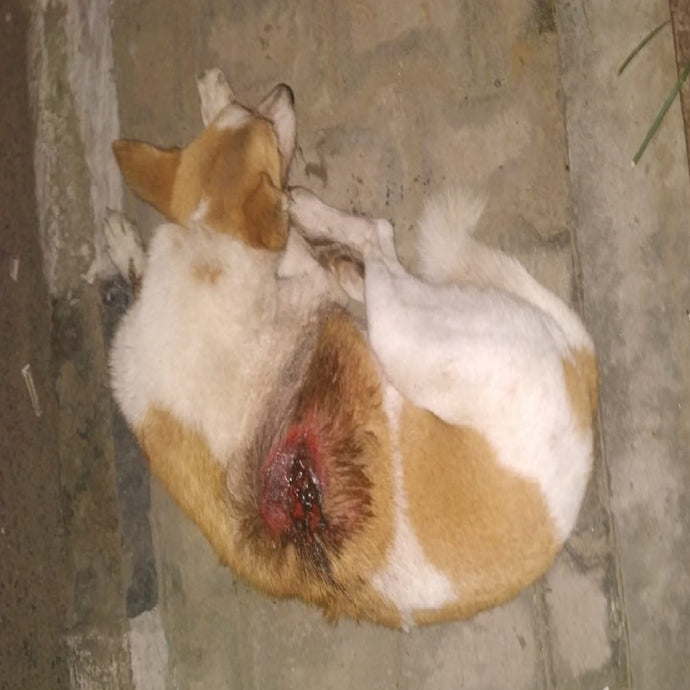 A stray animal with a severe wound.