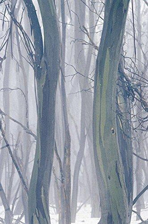 "Wallmonkeys A Thicket of Gum Trees in a Snowy Winter Landscape. 72""H x 48""W - Peel and Stick Wall Decal"