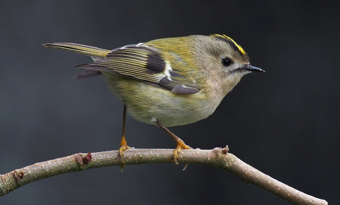 Goldcrest Bird
