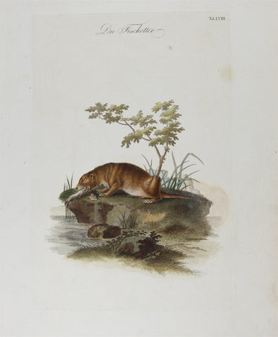 Artist Unknown: Copperplate Engraving (hand colored): Otter, Die Fischotter; Plate LVIII