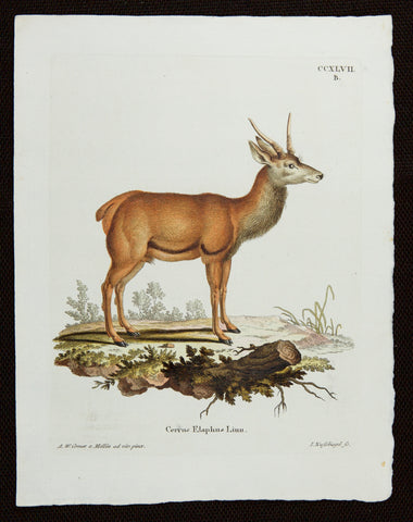 Schreber, Johann Christian Daniel (1739-1810): Red Deer Buck 247b