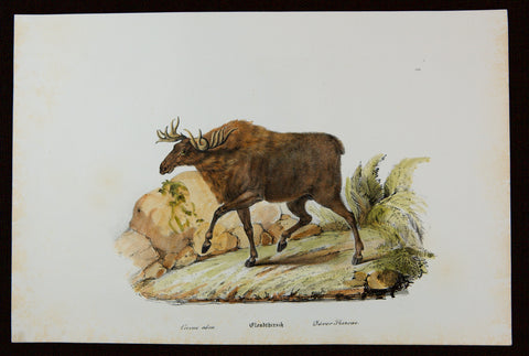 Reichert, Heinrich (1801-1893): Deer Stag, Large Folio