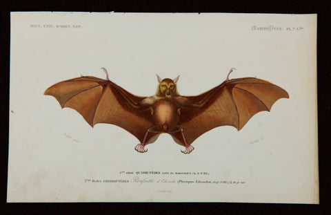 "Oudart, Paul Louis (1796-1850), artist; d'Orbigny, Charles (1806-1876), author: Bat. Pl. 7 A - From ""Digt. Univ. D'Hist. Nat.""; Mammiféres"