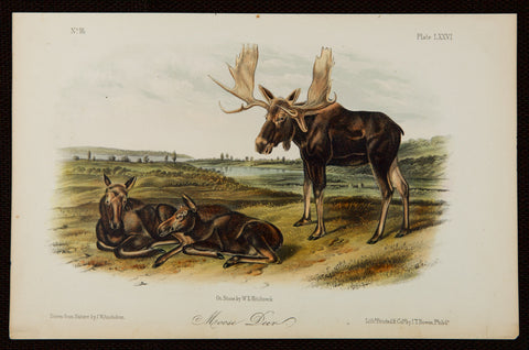 Audubon, John James (1785-1851), Audubon, John Woodhouse (1812–1862): Moose Deer - Octavio Edition, Quadrupeds