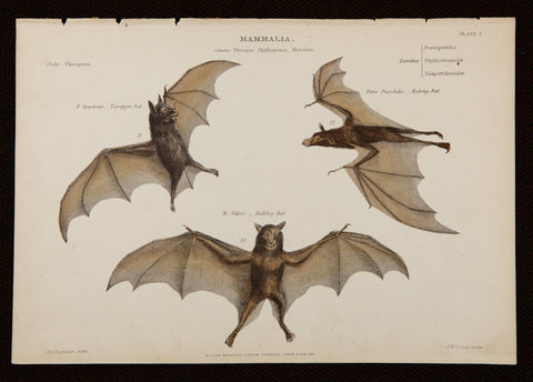 Curvier, Baron (1769-1832), author; Landseer, Charles (1799-1879), artist: Three bats