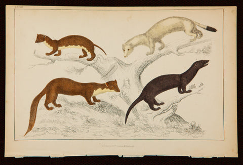 Goldsmith, Oliver (1728-1774); author: Ferret, Weasel, Ermine and other mammal