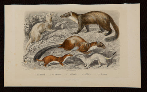 Gobin, Henry (dates unknown), artist; Comte de Buffon (1707-1788), author: The Ferret - the Weasel - Ermine - and others