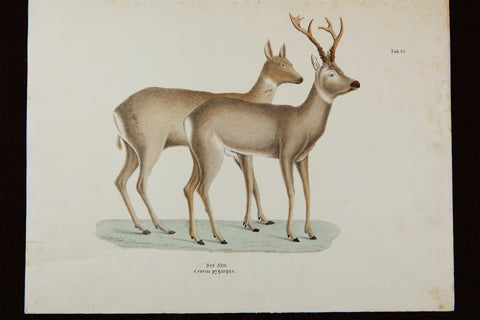Schinz, Heinrich Rudolf (1777-1861), author; / J. Kull (unknown), artist: Siberian ROE DEER - Handcolored Stone Folio