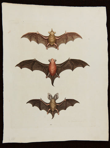 Edwards, George (1694 - 1773): Three Small Bats; plate 201