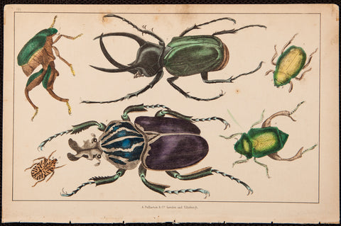 Goldsmith, Oliver (1728-1774); author: Various Beetles, Horned Beetle, Scarab Beetle