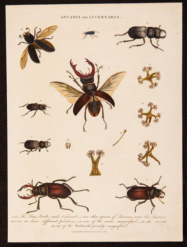 Pass, J. (active 1793-1828): Stag Beetles, male and female, plus other beetles