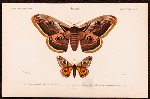 Blanchard, artist; d'Orbigny, Charles (1806-1876), author: Two Moths