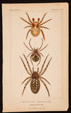 Latreille, Pierre André (1762-1833); Cuvier, Georges (1769-1832): Three Arachnides (spiders), Pl. 11