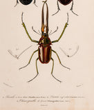 Blanchard, artist; d'Orbigny, Charles (1806-1876), author: Three Beetles