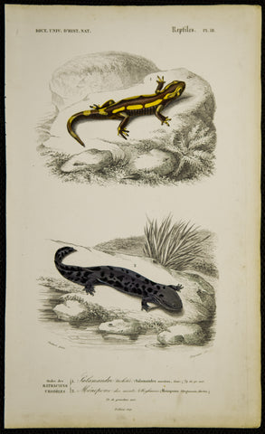 Oudart, Paul Louis (1796-1850), artist; d'Orbigny, Charles (1806-1876), author: Two Salamanders