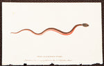 Edwards, Sydenham (1768-1819): Small Black and Red Snake