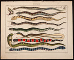 "Oken, Lorenz (1779-1851): Cobra, Horned Viper, and other poisonous snakes; ""Taefelschlangen"", Plate 62"