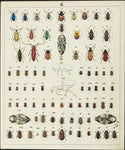 Berge, Carl Friedrich Wilhelm (1811-1883): Beetles, various insects. Plate no. 6