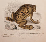 Oudart, Paul Louis (1796-1850), artist; d'Orbigny, Charles (1806-1876), author: Two Frogs