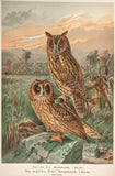 Keulemans, John Gerrard (1842 - 1912): Naumann & Keulemans C1890's Folio Bird Print. Long & Short Eared Owl 5-9