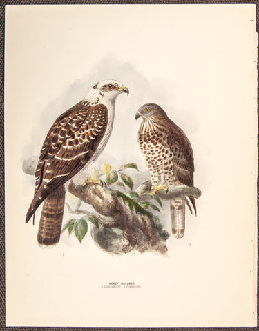 Keulemans, John Gerrard (1869-1876); Dresser, Henry Eeles (1838-1915), author.: Honey Buzzard - Young Variety and Male Immature