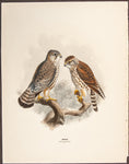 Keulemans, John Gerrard (1869-1876); Dresser, Henry Eeles (1838-1915), author.: Merlin (Adult female and young)