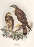 Keulemans, John Gerrard (1869-1876); Dresser, Henry Eeles (1838-1915), author.: Honey Buzzard (Pernis Apivorus)