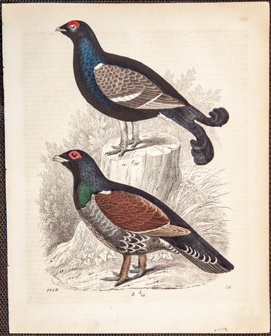 Goldsmith, Oliver (1728-1774): Grouse B729