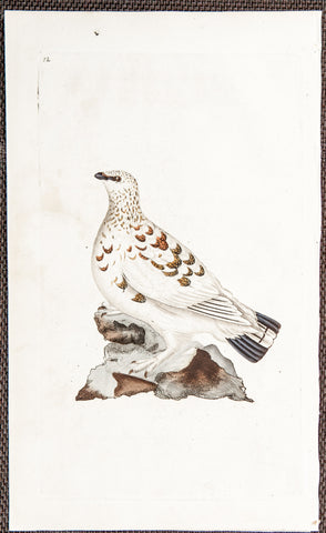 Donovan, Edward (1768–1837): Ptarmigan Grous. 12 - 1802 Natural History of British Birds Engraving