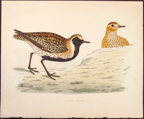 Morris, Beverly, author; Fawcett, Benjamin (1808-1893), artist: Golden Plover birds