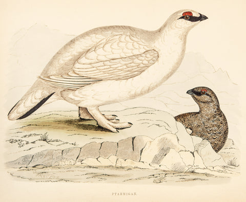 Morris, Beverly, author; Fawcett, Benjamin (1808-1893), artist: Ptarmigan birds