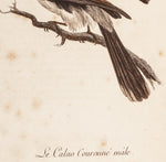 Barraband, Jacques (1767?-1809), artist; Le Vaillant, François (1753-1824), author: Le Calao Couronné male (Crowned Hornbill)