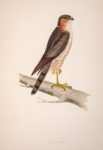 Morris, Francis Orpen (1810-1893): Sparrow Hawk Bird of Prey