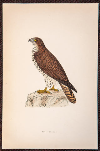 Morris, Francis Orpen (1810-1893): Honey Buzzard Bird of Prey