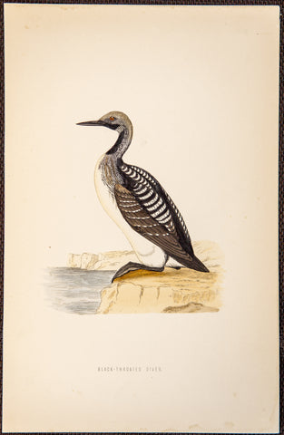 Morris, Francis Orpen (1810-1893): Black Throated Diver