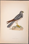 Morris, Francis Orpen (1810-1893): Montagu's Harrier Bird of Prey