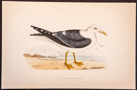 Morris, Francis Orpen (1810-1893): Lesser Black Backed Gull