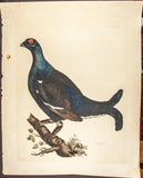 Selby, Prideaux John (1788-1867): Male Black Grouse