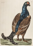 Pennant, Thomas (1726-1798), author; Paillou, Peter (c.1720-c.1790), artist: The Black Cock. LG Folio Hand Coloured